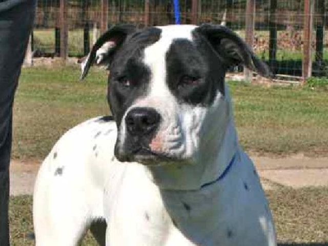 American Bulldog Catahoula Mix Black And White Adopted Female Ophelia