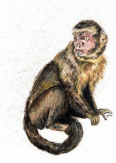 Dexter The Capuchin Monkey 26 Capuchin Monkey Monkey World Monkey