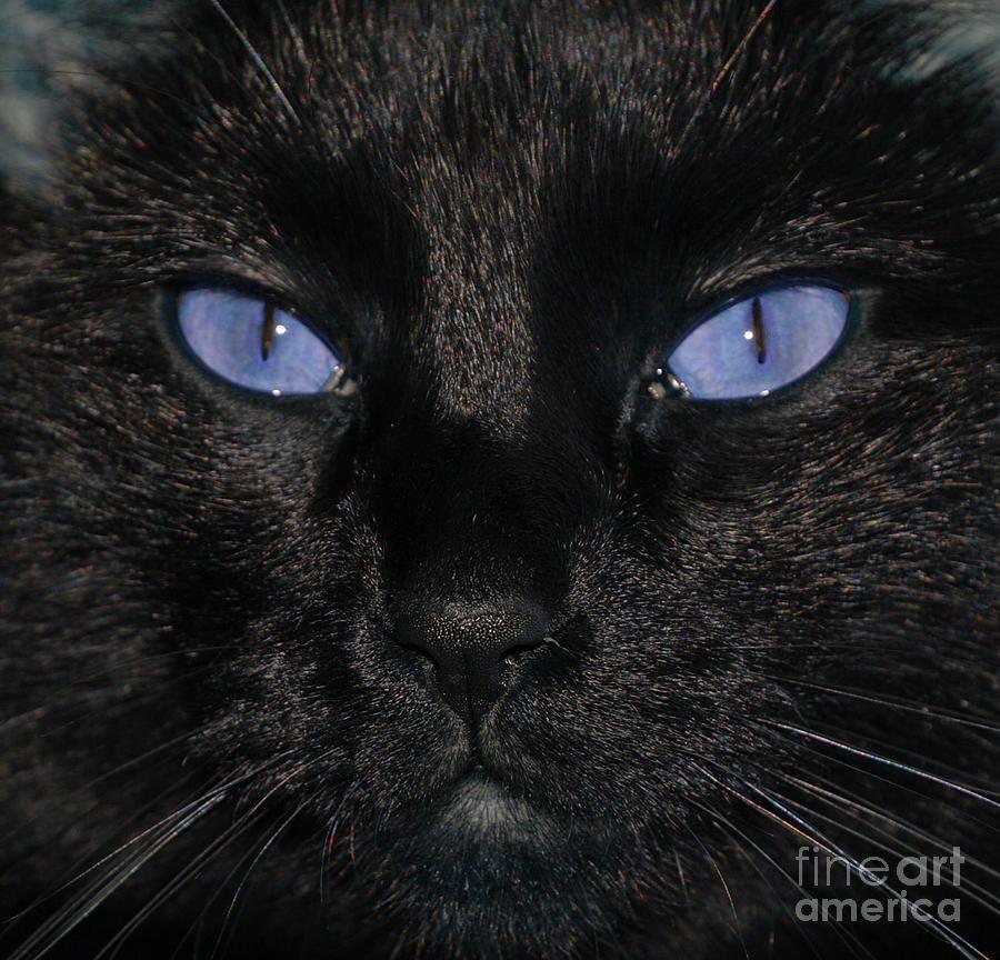 Black Cat Blue Eyes Rare cat breeds, Beautiful cats