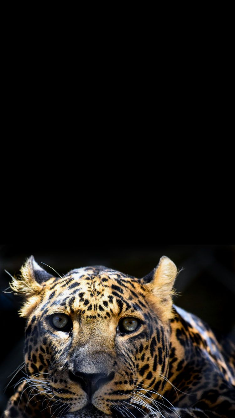 Tiger Head Wallpaper Background For Phones Apple Iphone 6 6s 7 Wallpaper Backgrounds Free Wallpaper Backgrounds Wallpaper
