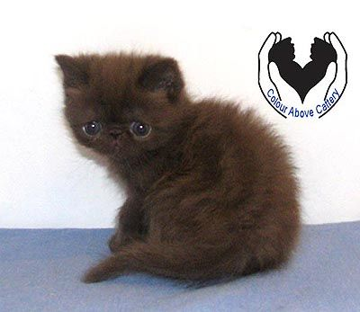 Chocolate Exotic Shorthair Kittens For Sale | Pets I Want | Exotic