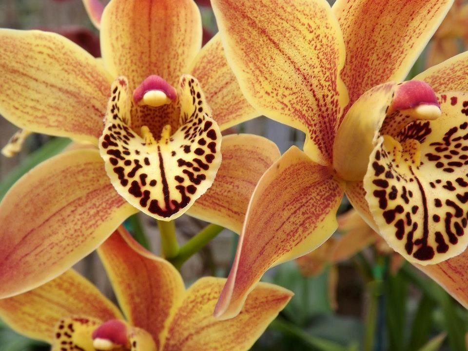 Pin By Berlin Designs Corp Dalia Ber On Open Up Cymbidium Orchids Orchids Beautiful Orchids