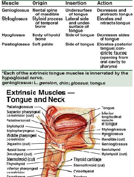 Dentistry lectures for MFDS/MJDF/NBDE/ORE: Lecture Notes for Muscles ...