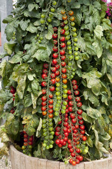 What To Plant Cherry Tomato Plant Tomato Garden Home Vegetable Garden