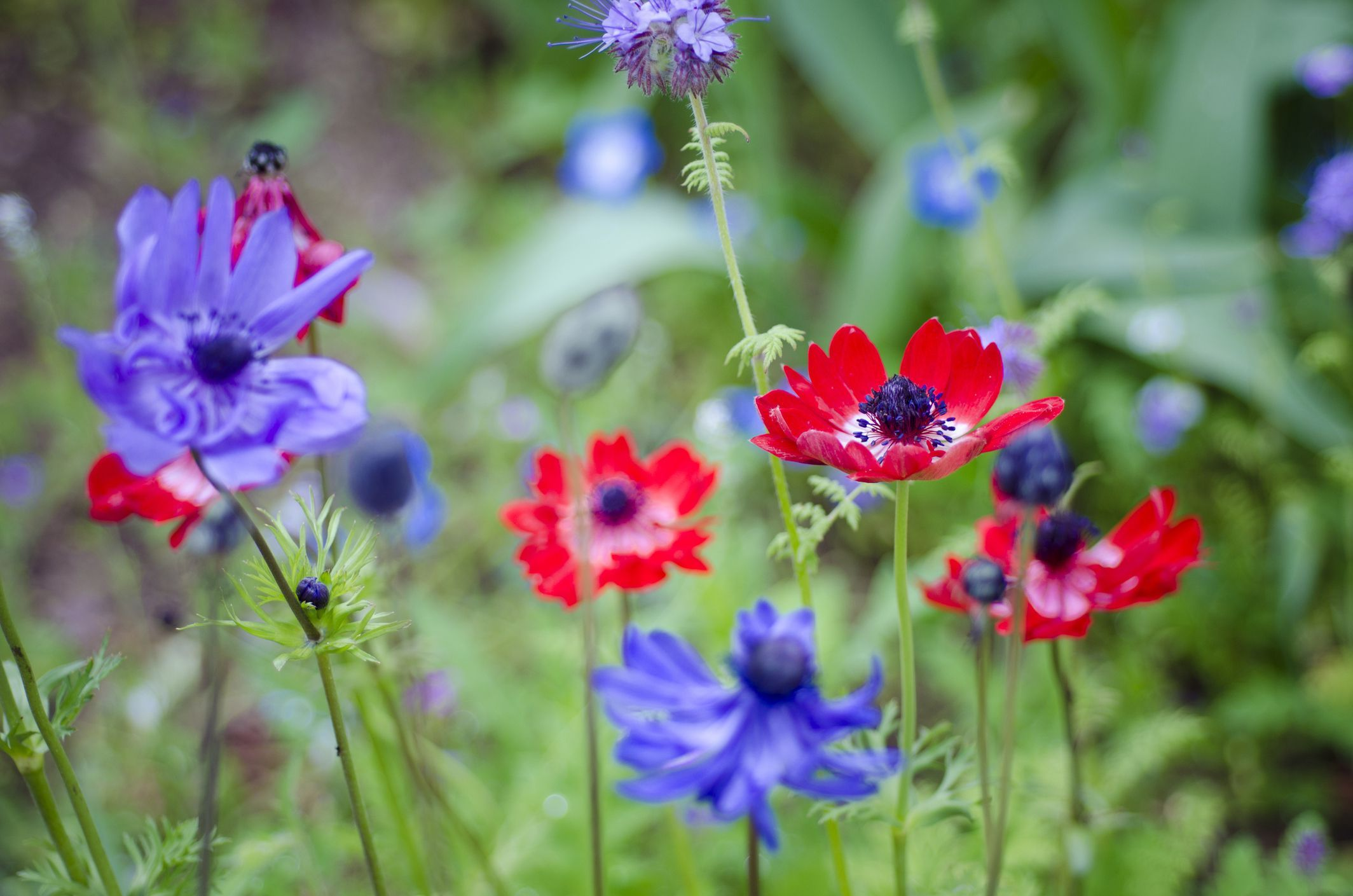 Learn How To Grow And Care For Anemone Flowers Anemone Flower Bulb Flowers Anemone