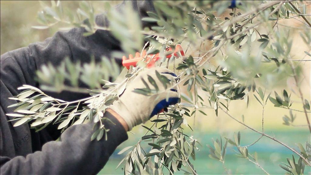 Raccolta olive #extravergine #olio #Pruneti