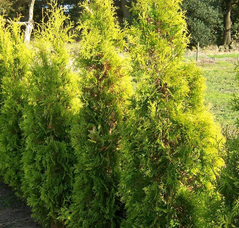 buy thuja occidentalis smaragd online from jacksons nurseries conifers pinterest thuja. Black Bedroom Furniture Sets. Home Design Ideas