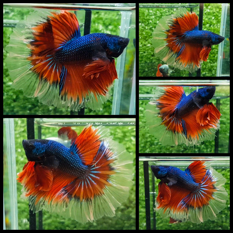 Red Blue Butterfly | Beautiful Betta Fish | Pinterest | Blue ...