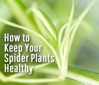 how to grow a thriving spider plant watering light temperature humidity soil fertilizer. Black Bedroom Furniture Sets. Home Design Ideas