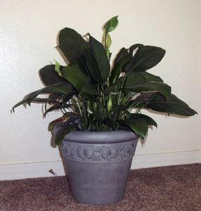 how to repot a peace lily - Peace Plant Care