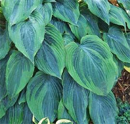 Hosta 'Devil's Advocate-What an appropriate name for a Hosta, I will have to start tons of new gardens this year!!