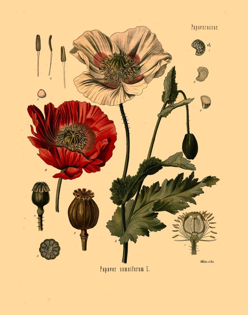 Antique Botanical Print Opium Poppy Flowers And Seeds Illustration