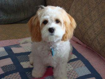 Cavachon Dogs Full Grown Google Search Cavachon Cavachon
