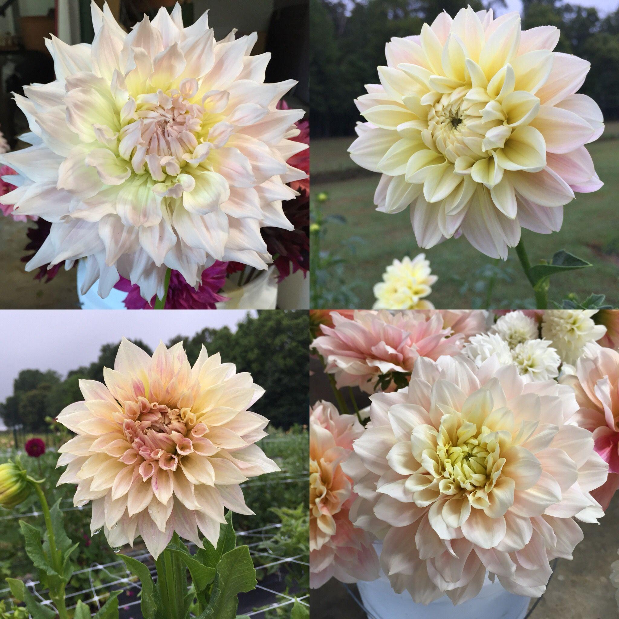 Pin On 2020 Flower Farming