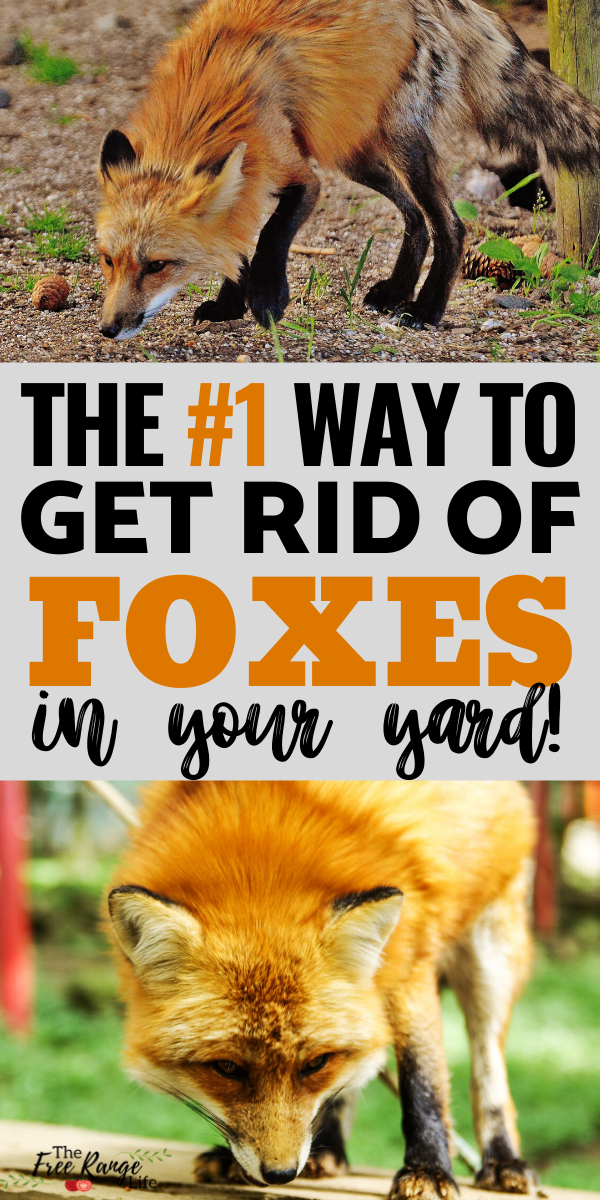 The Number 1 Way To Get Rid Of Foxes For Good Chickens Backyard Pet Chickens Raising Chickens