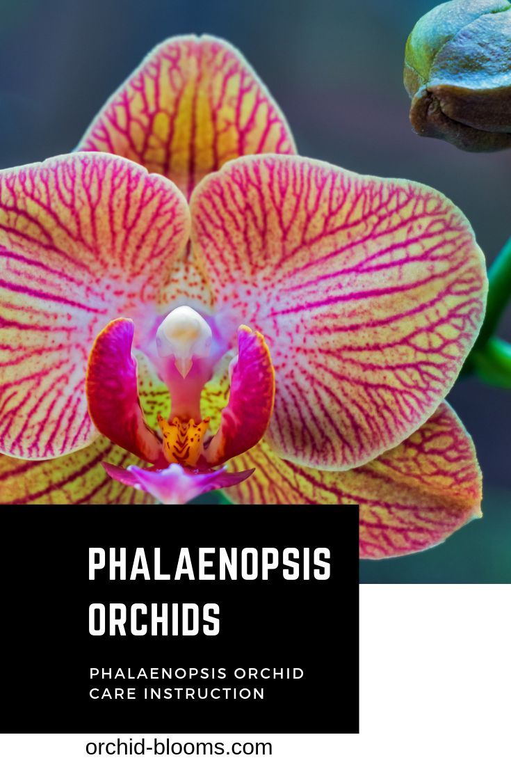 Photo of Number one selling Orchid worldwide for a good reason.  Click for complete Phala…