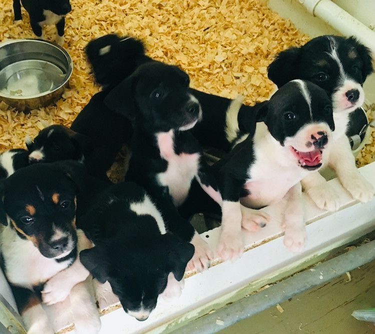 border collie puppies for adoption in pa
