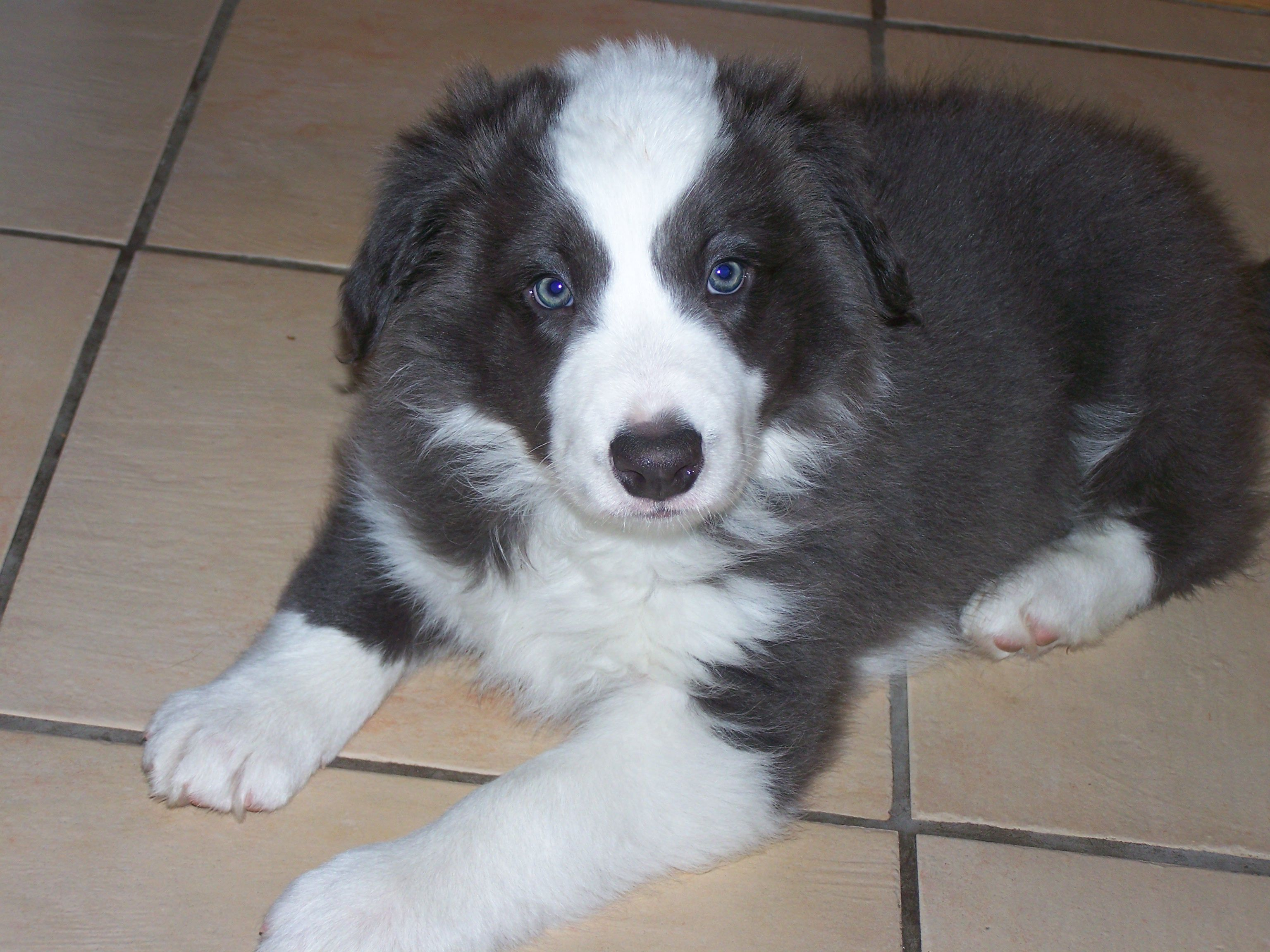 Free Border Collie Puppies Deacon Blue White Boy Age 7 Months