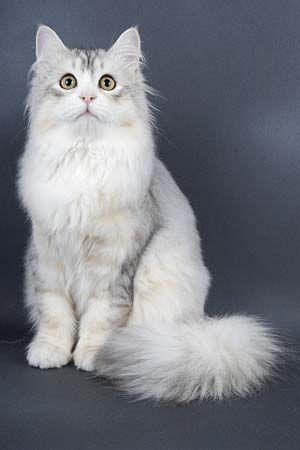 Kot Syberyjski Biały Szukaj W Google Animals Cats Singapura