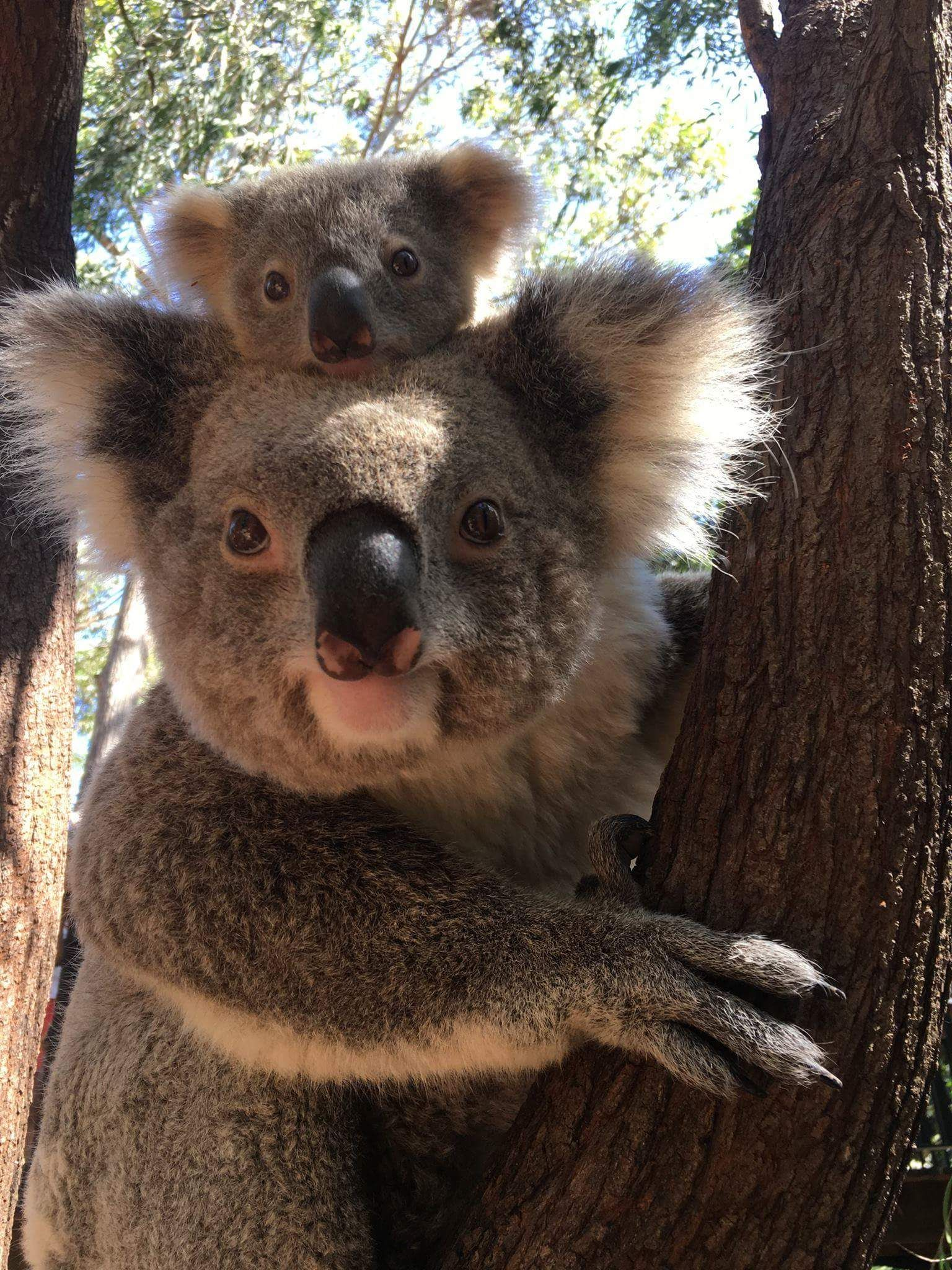, Tarni the Koala and his mum, My Babies Blog 2020, My Babies Blog 2020