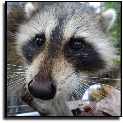 Sarasota Fl Raccoon Removal And Raccoon Control Services Animal Rangers Inc Florida S Best Wildlife Control Service Animals Service Animal Raccoon Removal