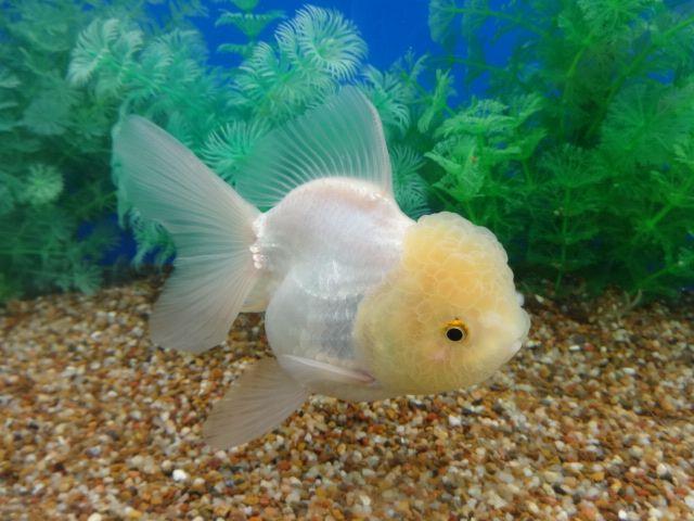 Lemon Head White Oranda Goldfish Oranda Goldfish Aquarium Fish