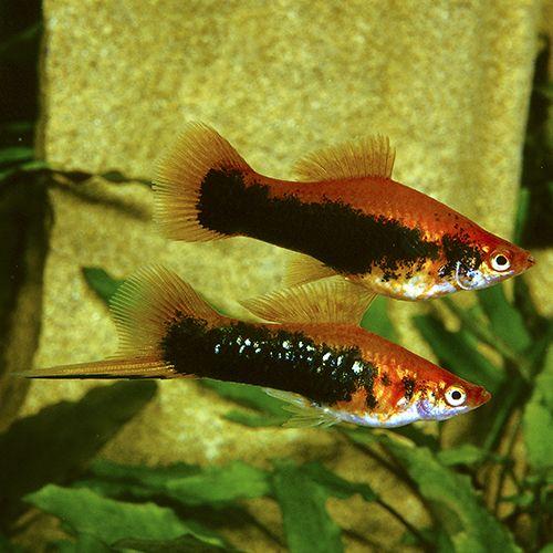 200 Swordtails Ideas Aquarium Fish Swordtail Fish Tropical Fish