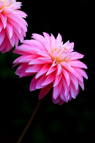 Have One Of These On My Porch Couldn T Remember What They Were Called Until I Found This Picture Pink Dahlias Beautiful Flowers Flowers Pretty Flowers