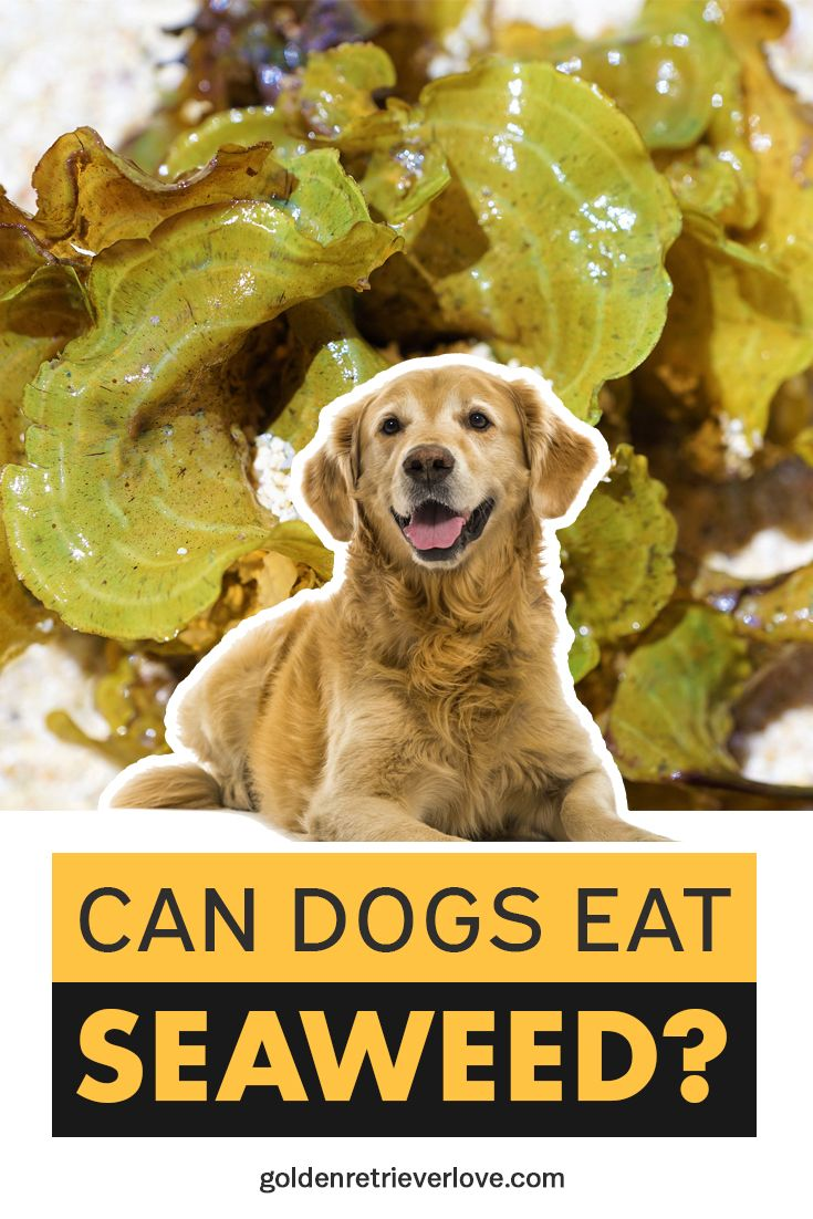 Can Dogs Eat Seaweed? Can dogs eat, Dog eating, Eat
