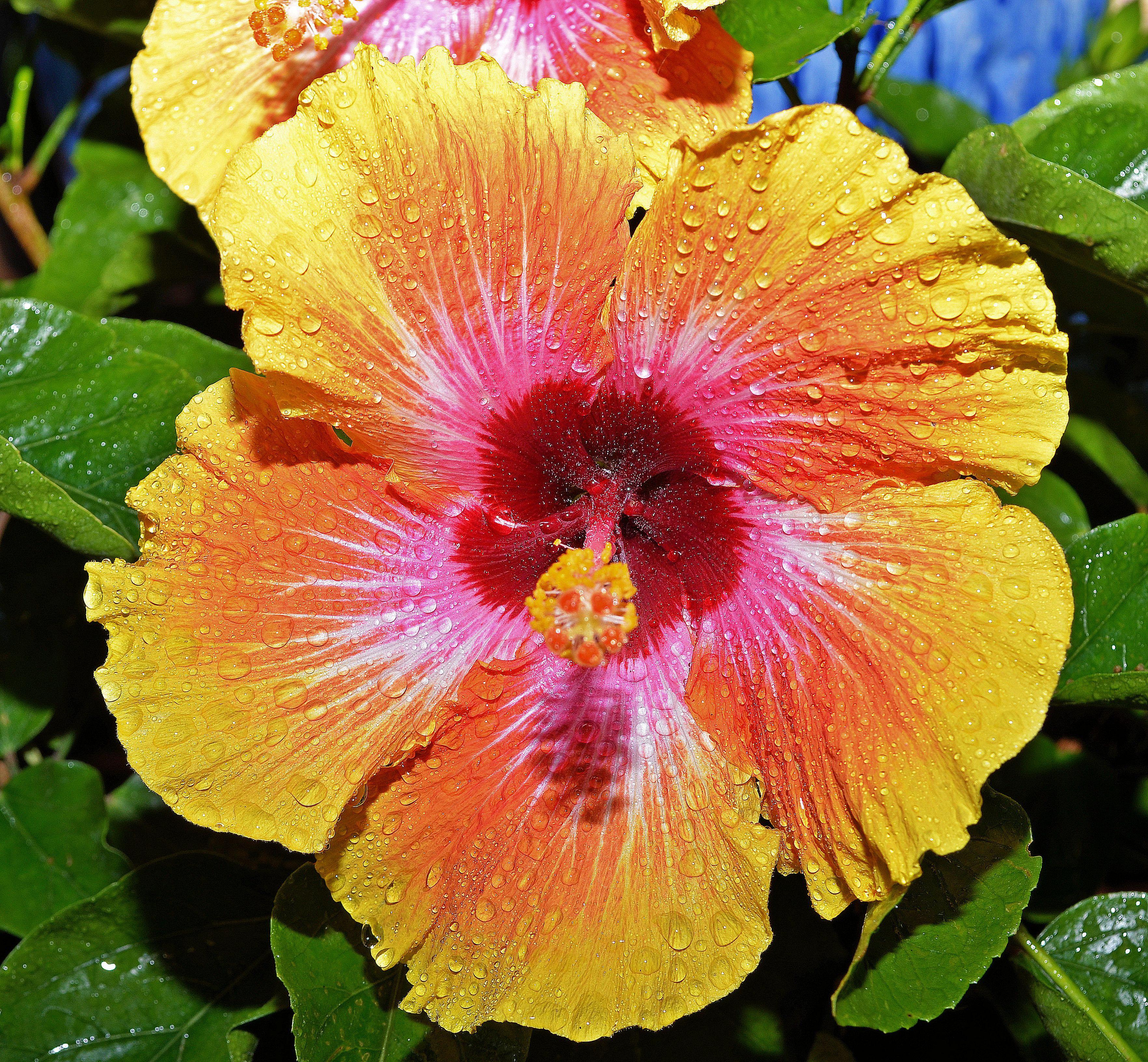 Hawaiian sunset hibiscus my own photography pinterest hawaiian sunset hibiscus izmirmasajfo