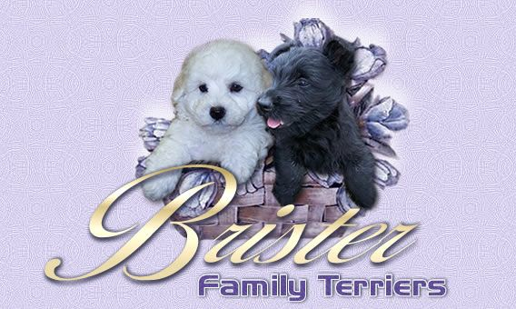 Brister Family Terriers Offers Akc Scottish Terriers And Bichon Frise Puppies For Sale In Texas Scottish Terrier Puppy Scottish Terrier Bichon Frise Puppy