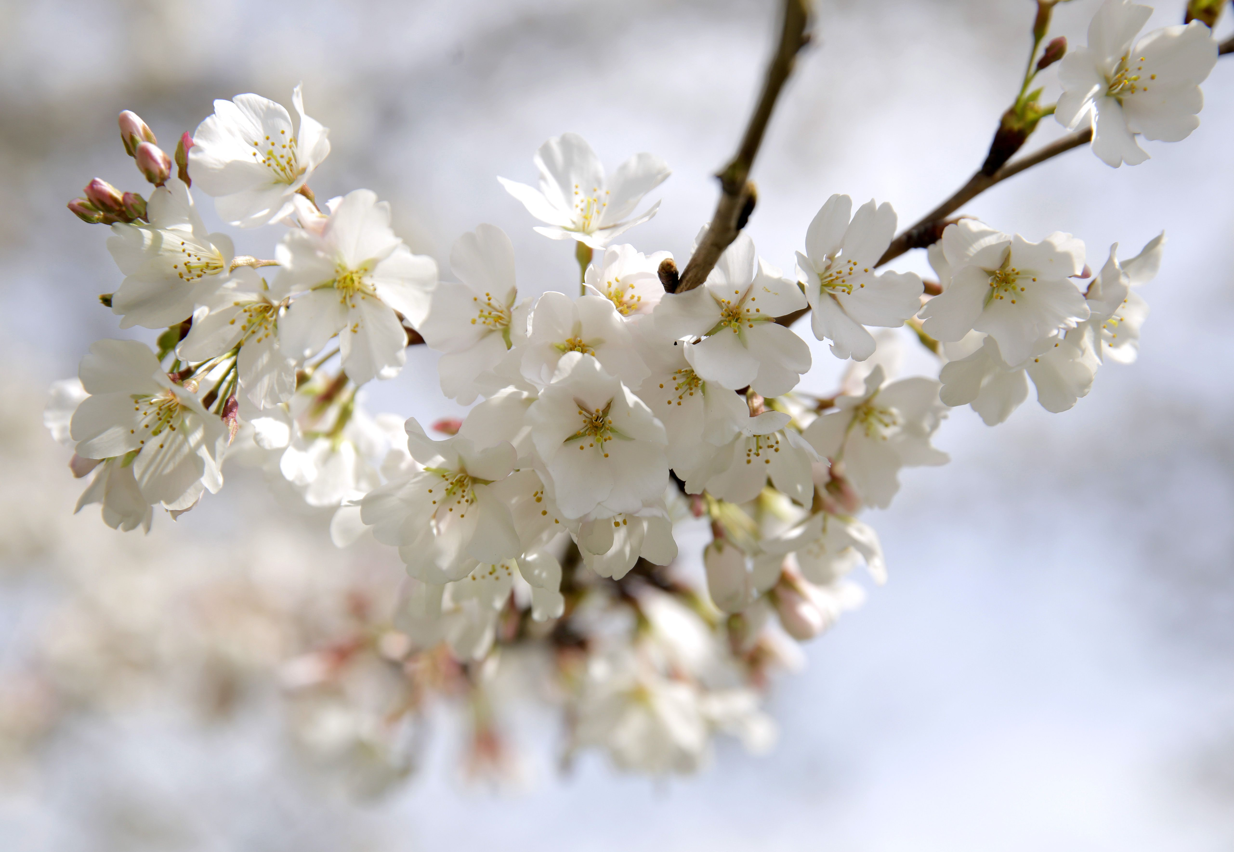 5 Things You Didn T Know About The Cherry Blossoms Japanese Flowers Bloom Cherry Blossom Tree