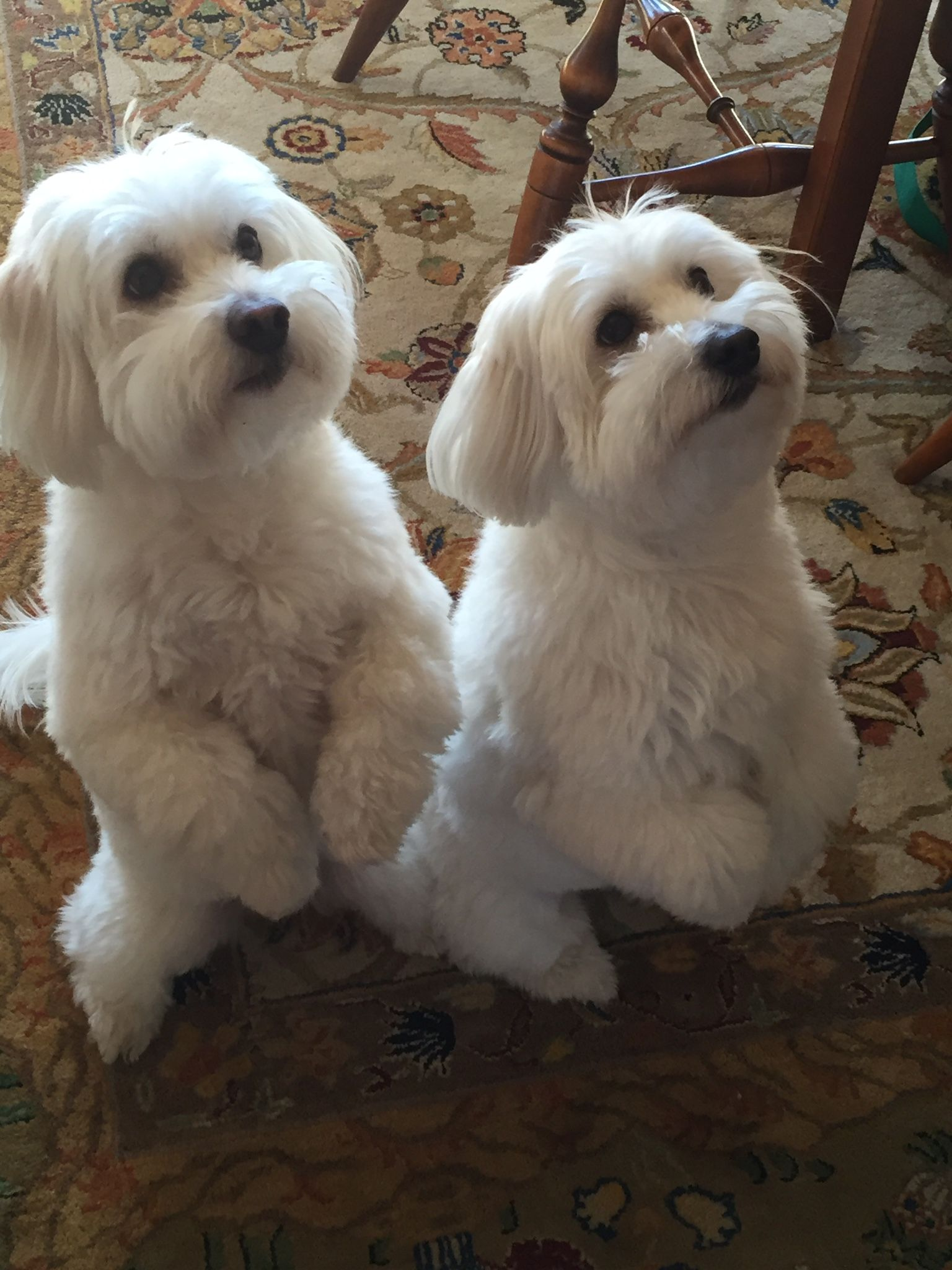 Pin By Dee Samuels On Coton De Tulears My Boys Baby Dogs Coton De Tulear Dogs Puppies