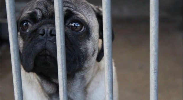 How To Care For Your Pug - http://weloveourpugs.net/how-to-care-for-your-pug/