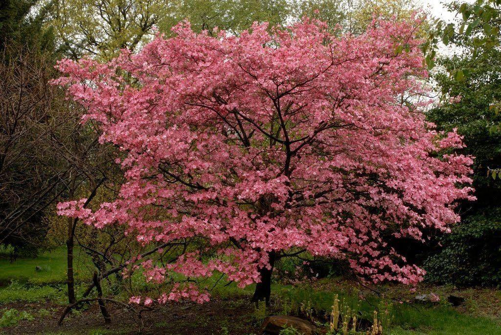 Amazon Com Pink Flowering Dogwood 10 Seeds Trees Seeds Garden Outdoor Florida Flowers Dogwood Trees Florida Trees