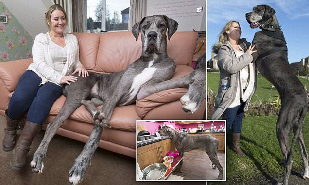 Meet Freddy The Great Dane The Biggest Dog In The World Great