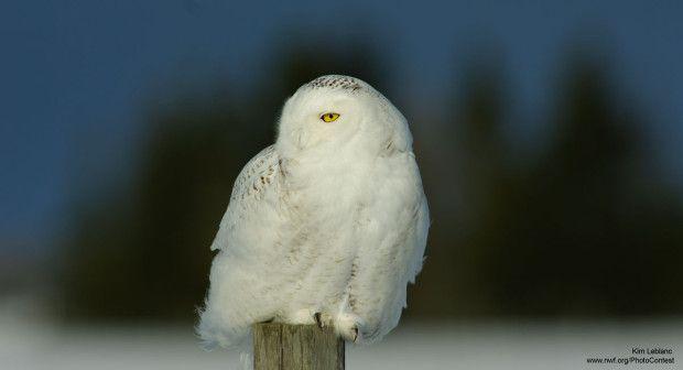 Snowy owl, like Hedwig, from National Wildlife Federation Photo Contest entrant Kim Leblanc.