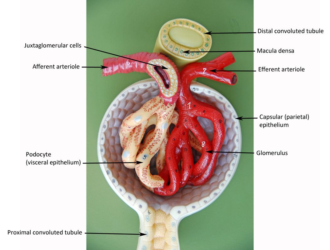 Kidney Cell Diagram Labeled Earth Image Result For Renal Corpuscle Lab Model Anatomy