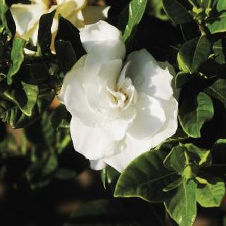 How To Propagate Gardenias From Cuttings Gardenia Plant Gardenia Trees Gardenia Shrub