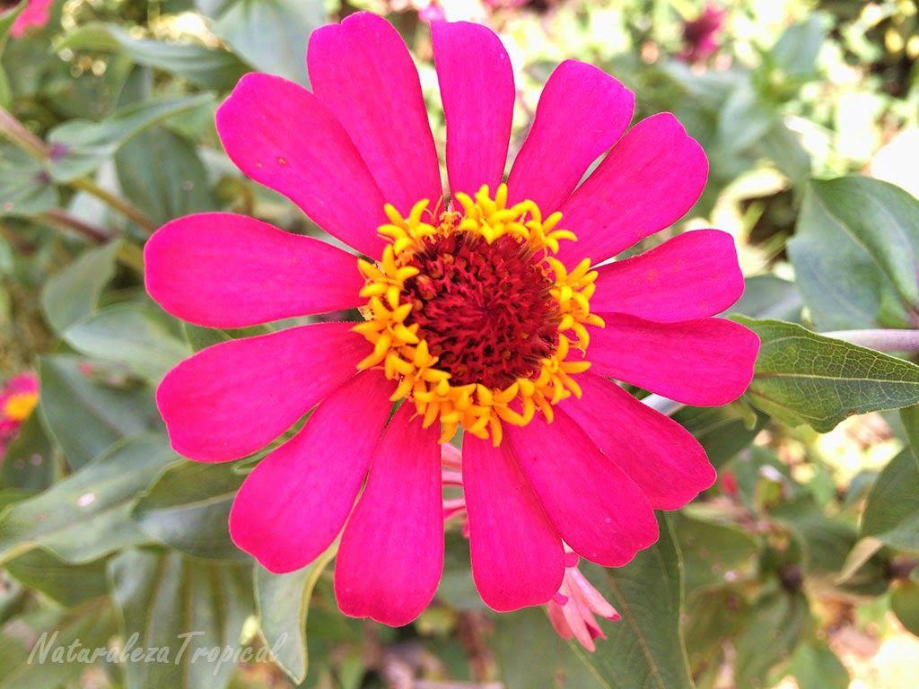 Flor Clavelon Nombre Popular De Las Flores Del Genero Zinnia