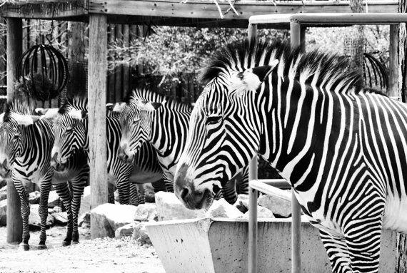 Zebras 8x10 metallic print by MemoriesByTessa on Etsy, $40.00