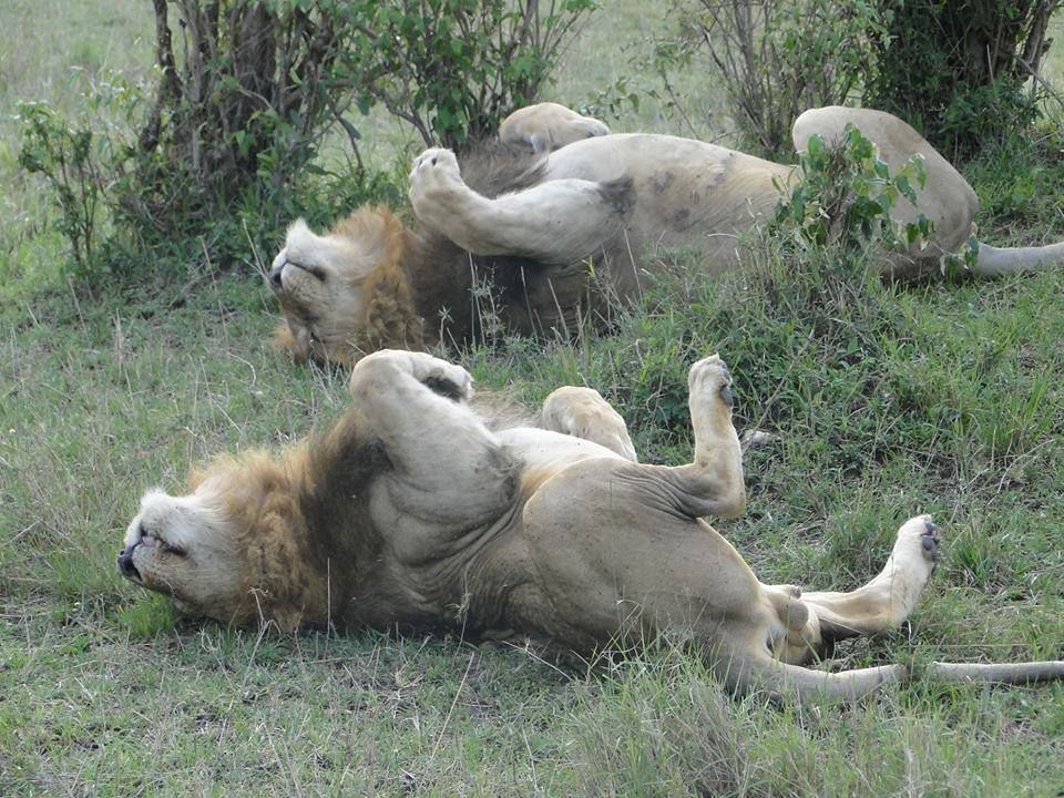 Ceaser and his brother Ron doing a synchronized roll on the Masai Mara.  These 2 are two of the five sons of Notch the legendary Lion-King of the Mara in Africa.  Photo Credit to Asjad Omar.