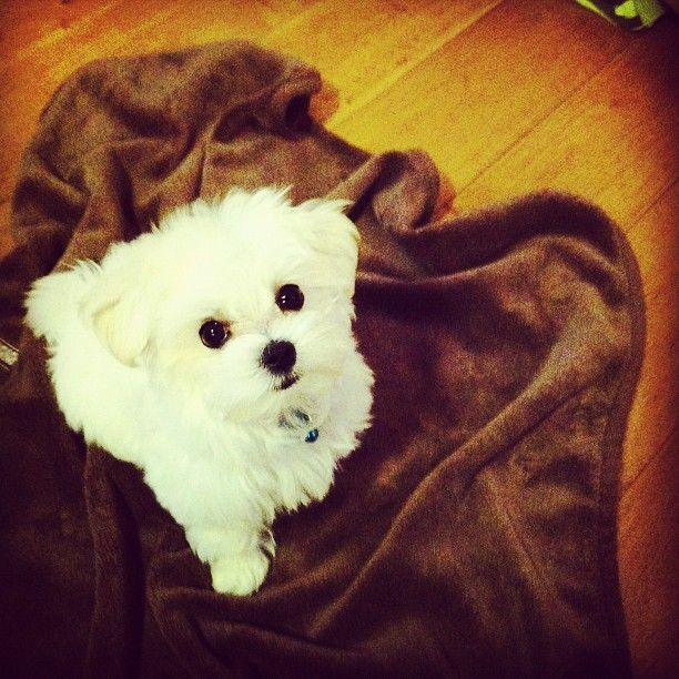 Maltese Puppy Evil Bad Cute Dogs Maltese Dogs Cute Animals