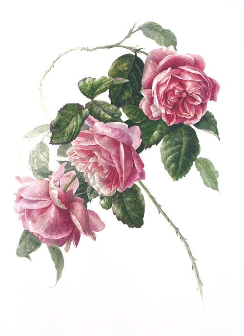 Cabbage Rose [rosa centifolia] by Carol Guest