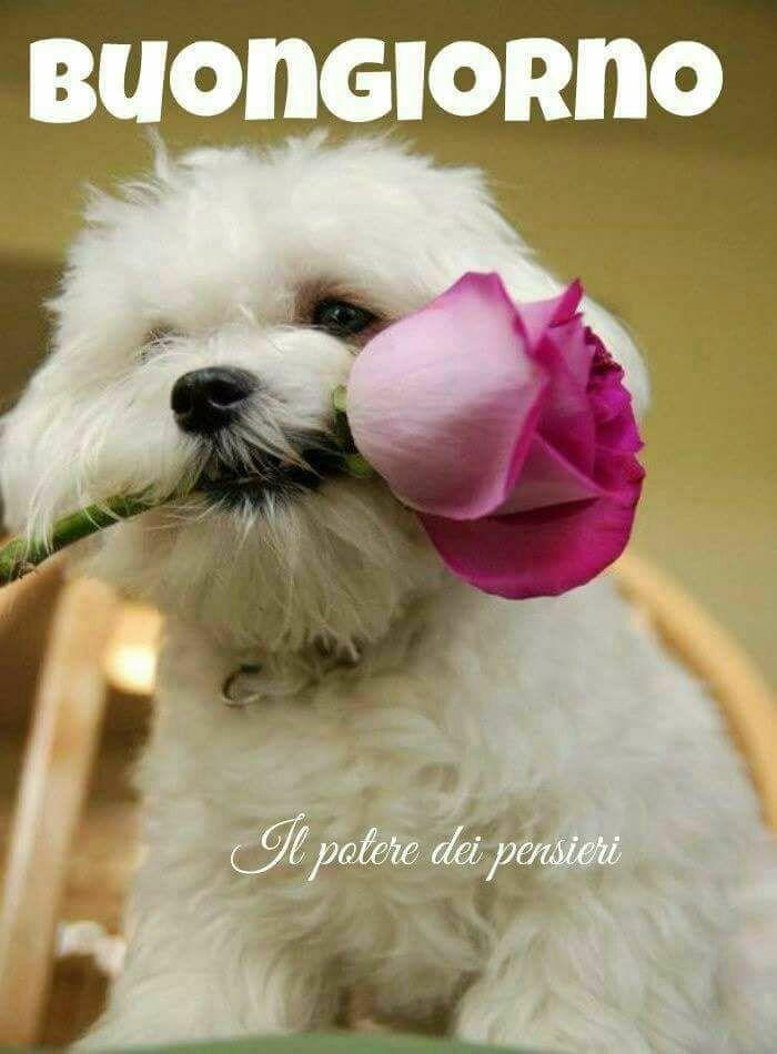 Pin Di Manuela Caroni Su Buongiorno Cani Maltese Animali