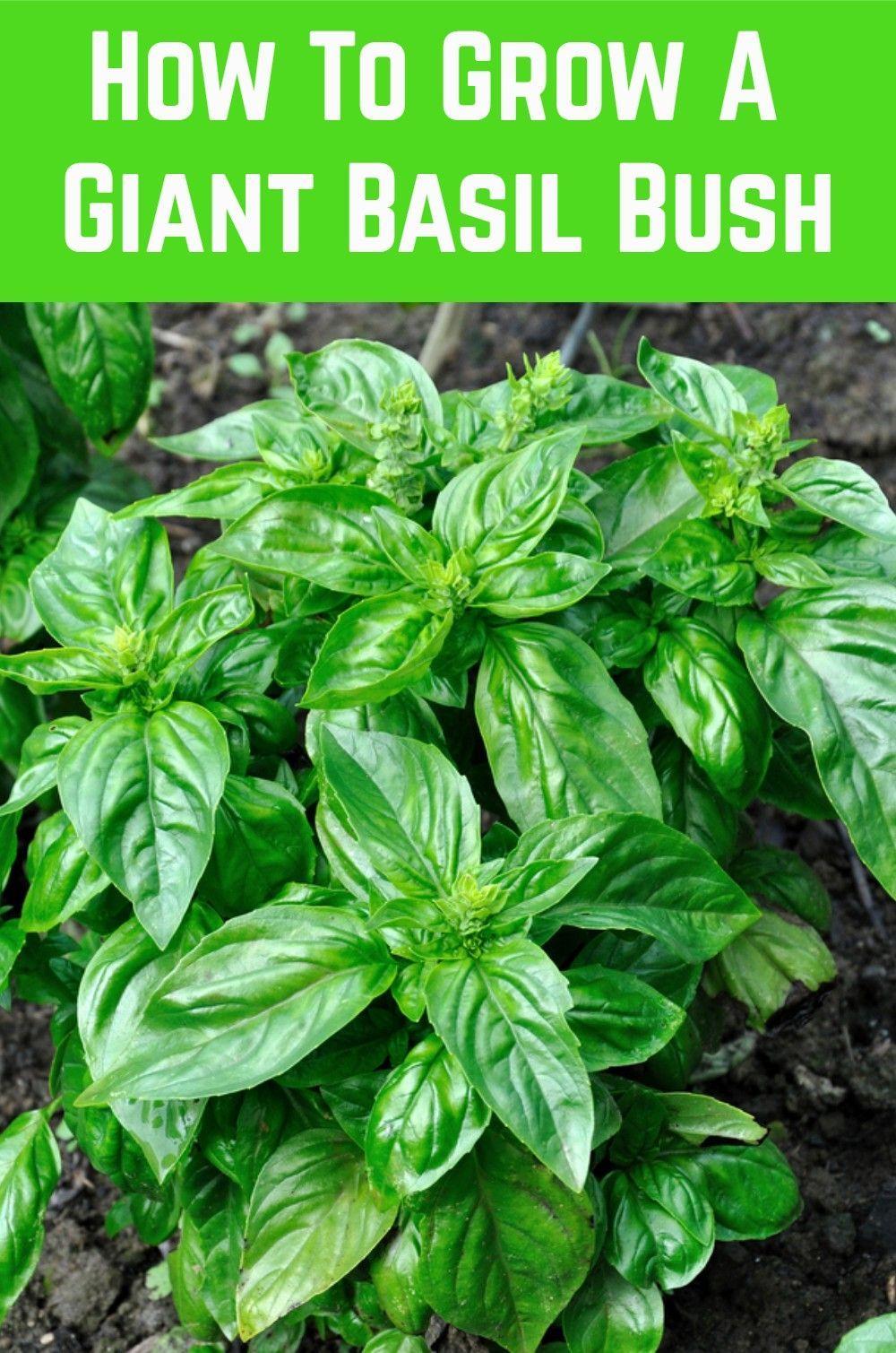 How To Grow A Giant Basil Bush: A Pro Gardener Reveals Their Secret
