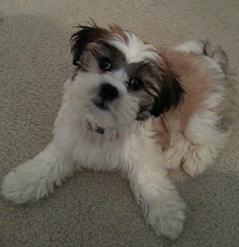 Shichon puppies for sale in kentucky - Posing Our Lil Zuchon Shichon Teddy Bear Puppy Bichon Puppy My Teddy