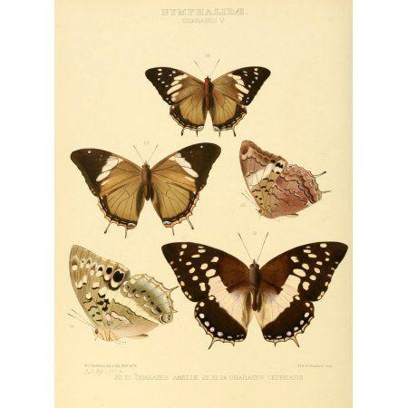 Exotic Butterflies 1866 Charaxes 3 Canvas Art - W Chapman Hewitson (24 x 36)