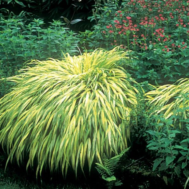 Herbe du japon hakonechloa macra aureola promesse de for Plantes decoratives jardin