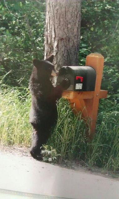 does a bear look in the mailbox mail boxes pinterest bears